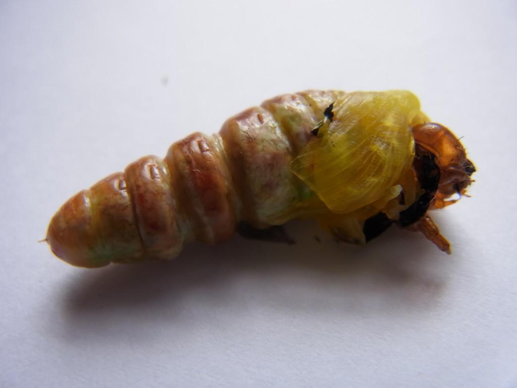 フクラスズメ前蛹